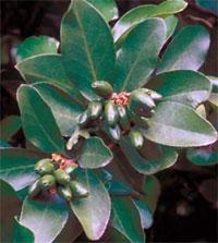 Коринокарпус Corynocarpus