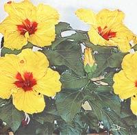 Гибискус (китайская роза) Hibiscus