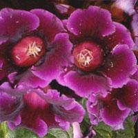 Глоксиния красивая Gloxinia speciosa