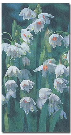 Белоцветник - белушка, лейкоюм   Leucojum