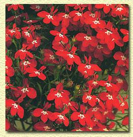 Лобелия нежная, Lobelia tenuior.