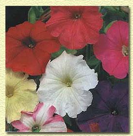 Петуния садовая, Petunia hybrida.