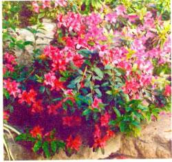 Азалия, рододендрон Симса — Rhododendron simsii